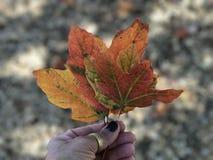 Το φθινόπωρο χρωματίζει τα φύλλα πτώσης εποχής στοκ εικόνες