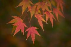 το φθινόπωρο dof αφήνει κόκκινο ρηχό Στοκ φωτογραφίες με δικαίωμα ελεύθερης χρήσης