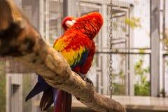 Το φιλί του παπαγάλου macaw Στοκ Εικόνα