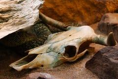 Το φιδιών ζωικό μαύρο λευκό υποβάθρου κρανίων κόκκαλων φιδιών θανάτου σκελετών σκελετών επικεφαλής που απομονώνεται Στοκ Φωτογραφίες