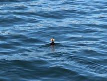 Το φουντωτό cirrhata Fratercula puffin, επίσης γνωστό ως λοφιοφόρο puffin, κολυμπά στο νερό στοκ εικόνα με δικαίωμα ελεύθερης χρήσης