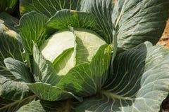 Το φρέσκο λάχανο Στοκ Εικόνα