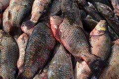 Το φρέσκο ακατέργαστο ψάρι βρίσκεται, ένα υπόβαθρο Στοκ εικόνες με δικαίωμα ελεύθερης χρήσης