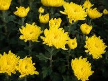 Το φρέσκο κίτρινο χρυσάνθεμο είναι ανθίζοντας στοκ εικόνα