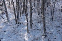 Το φρέσκο χιόνι μέσα το άλσος 1 δέντρων Στοκ Εικόνα