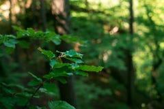 Το φυσικό υπόβαθρο από τα φρέσκα πράσινα φύλλα σε έναν decidious δασικό ήλιο λάμπει σε όλα τα φύλλα Φύση και πράσινο χρώμα του BA Στοκ Εικόνα