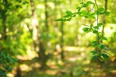 Το φυσικό υπόβαθρο από τα φρέσκα πράσινα φύλλα σε έναν decidious δασικό ήλιο λάμπει σε όλα τα φύλλα Φύση και πράσινο χρώμα του BA Στοκ Εικόνες