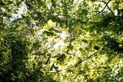 Το φυσικό υπόβαθρο από τα φρέσκα πράσινα φύλλα σε έναν decidious δασικό ήλιο λάμπει σε όλα τα φύλλα Φύση και πράσινο χρώμα του BA Στοκ φωτογραφία με δικαίωμα ελεύθερης χρήσης