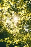 Το φυσικό υπόβαθρο από τα φρέσκα πράσινα φύλλα σε έναν decidious δασικό ήλιο λάμπει σε όλα τα φύλλα Φύση και πράσινο χρώμα του BA Στοκ Φωτογραφία