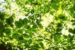 Το φυσικό υπόβαθρο από τα φρέσκα πράσινα φύλλα σε έναν decidious δασικό ήλιο λάμπει σε όλα τα φύλλα Φύση και πράσινο χρώμα του BA Στοκ φωτογραφίες με δικαίωμα ελεύθερης χρήσης