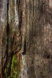 Το φυσικό υπόβαθρο του σάπιου ξύλου στα πολύ παλαιά κολοβώματα δέντρων Η σύσταση των παλαιών κολοβωμάτων Στοκ Εικόνες