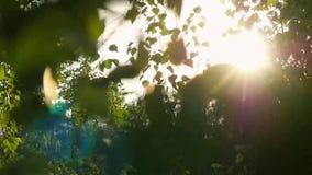Το φυσικό φωτεινό υπόβαθρο με τη σημύδα αφήνει το θολωμένο υπόβαθρο και sunlights με τη φλόγα φακών σε σε αργή κίνηση 1920x1080 απόθεμα βίντεο
