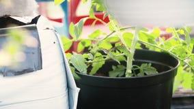 Το φυστίκι σποράς χεριών της Farmer κοντά αυξάνεται φιλμ μικρού μήκους