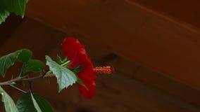 Το φυσώντας λουλούδι αερακιού κινεζικού κόκκινου αυξήθηκε Hibiscus φιλμ μικρού μήκους