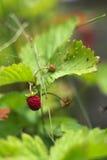 Το φυτό άγριων φραουλών με πράσινο βγάζει φύλλα και ώριμα κόκκινα φρούτα - Fragaria vesca Στοκ Φωτογραφία