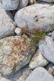 Το φυτό αυξάνεται μεταξύ των βράχων του ποταμού Ardeche Στοκ εικόνα με δικαίωμα ελεύθερης χρήσης