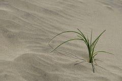 Το φυτό αυξάνεται στον αμμόλοφο. Στοκ Φωτογραφία