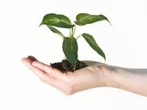 το φυτό εκμετάλλευσης χεριών Στοκ φωτογραφία με δικαίωμα ελεύθερης χρήσης