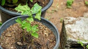 το φυτό μωρών αυξάνεται στο δοχείο Στοκ Εικόνα
