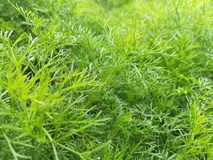 Το φυτό που τα φύλλα και οι σπόροι χρησιμοποιούνται ως χορτάρι ή καρύκευμα για τα τρόφιμα αρωματικών ουσιών Στοκ Εικόνα