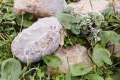 Το φυτό Arizarum αυξάνεται στα βουνά Στοκ Φωτογραφία