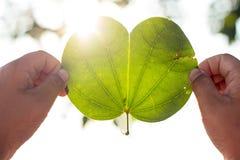 Το φως λάμπει μέσω των φύλλων, αναδρομικά φωτισμένα φύλλα Α Στοκ Εικόνα