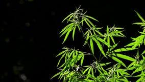 Το φως σύρει τη σύσταση του φύλλου Κάνναβη στις απέραντες νότιες περιοχές της χώρας φιλμ μικρού μήκους