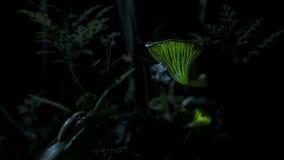 Το φως των μυκήτων προσελκύει έναν κάνθαρο κρότου στοκ εικόνα