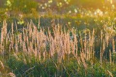 Το φως χλόης του ήλιου ρύθμισης θόλωσε το υπόβαθρο ενός πολύβλαστου λιβαδιού bokeh Στοκ φωτογραφίες με δικαίωμα ελεύθερης χρήσης
