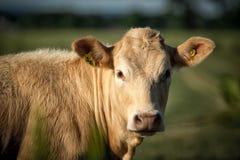 Το φως χρωμάτισε την καφετιά μπεζ κινηματογράφηση σε πρώτο πλάνο αγελάδων Στοκ Φωτογραφία