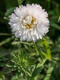 Το φωτεινό άσπρο λουλούδι αστέρων στο α σε ένα πάρκο Στοκ Φωτογραφίες