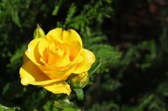 Το φωτεινό κίτρινο άνθισμα αυξήθηκε Στοκ εικόνες με δικαίωμα ελεύθερης χρήσης