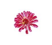 Το φωτεινό κόκκινο λουλούδι Zinnia απομόνωσε Στοκ Φωτογραφία