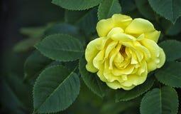 Το φωτεινό λουλούδι ενός κίτρινου αυξήθηκε μεταξύ του πράσινου φυλλώματος Στοκ Φωτογραφίες