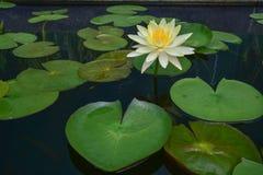 Το φύλλο λωτού πράσινο Στοκ Εικόνες