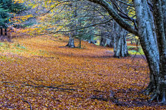Το φύλλωμα το φθινόπωρο σε Pian delle Macinare, τοποθετεί Cucco, Apennine Στοκ Εικόνες