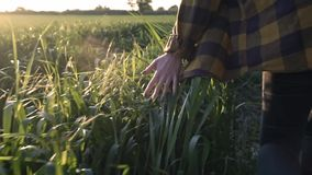 Το χέρι αγροτών γυναικών κρατά στους νεαρούς βλαστούς στον τομέα Τα θηλυκά τρεξίματα χεριών πέρα από τον τομέα, αγγίζουν το σίτο  απόθεμα βίντεο
