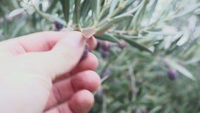 Το χέρι ενός ατόμου αγγίζει κάποια φρούτα ελιών σύνδεσε το δέντρο απόθεμα βίντεο