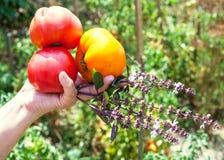 Το χέρι κηπουρών κρατά τις ώριμα ντομάτες και το χορτάρι βασιλικού Στοκ φωτογραφία με δικαίωμα ελεύθερης χρήσης