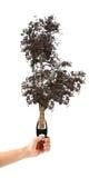 Το χέρι κρατά ένα ξηρό δέντρο σφιγκτηρών πενσών σε ένα άσπρο υπόβαθρο - φύση Στοκ φωτογραφία με δικαίωμα ελεύθερης χρήσης