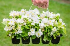 Το χέρι κρατά το εμπορευματοκιβώτιο άσπρο begonia ανθών στον κήπο Στοκ Εικόνες