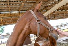 Το χέρι κτυπά ένα καφετί άλογο στο πρόσωπο στοκ εικόνες