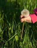 Το χέρι μωρών ` s σχίζει το λουλούδι πικραλίδων Στοκ Εικόνες