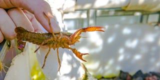 Το χέρι που κρατά έναν πορτοκαλή crawdad στοκ φωτογραφία