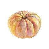 Το χέρι που σύρθηκε την κολοκύθα απομόνωσε ολόκληρη Φρέσκο λαχανικό Watercolor Στοκ Εικόνα