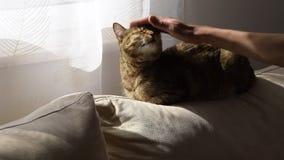 Το χέρι της γυναίκας χαϊδεύει ήπια τη γάτα στον καναπέ απόθεμα βίντεο