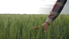 Το χέρι της Farmer αγγίζει το στενό επάνω, αρσενικό περπάτημα ιδιοκτητών συγκομιδών κριθαριού μεταξύ της πράσινης φυτείας στον το φιλμ μικρού μήκους