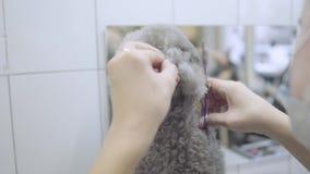 Το χέρι της Pet groomer κόβει τη μικρή γκρίζα τρίχα σκυλιών με το ψαλίδι στο σαλόνι groomers κρατώντας το αυτί του κοντά επάνω Επ απόθεμα βίντεο