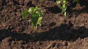Το χέρι του αγρότη ποτίζει έναν νέο πράσινο νεαρό βλαστό ο κηπουρός αυξάνεται το γλυκό πιπέρι από ένα δενδρύλλιο και πίνει το νερ απόθεμα βίντεο