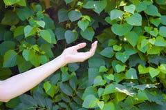 Το χέρι του νέου κοριτσιού σε πράσινο βγάζει φύλλα το υπόβαθρο Στοκ Εικόνες